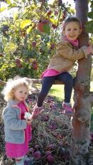 Apple picking in Groton